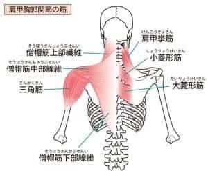 首と肩回りの筋肉