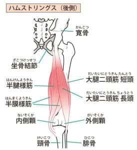 ハムストリングの筋肉