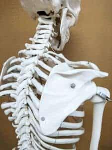 背骨と肩甲骨